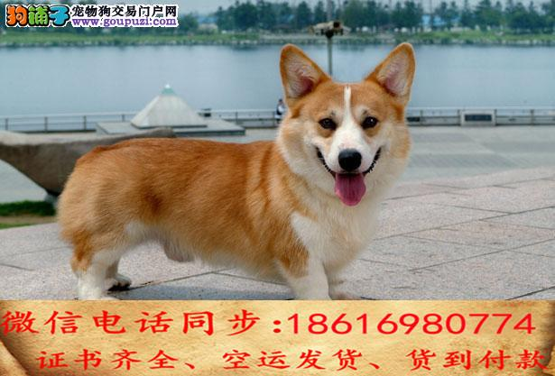 出售纯种柯基犬 犬幼犬全国发货签订协议