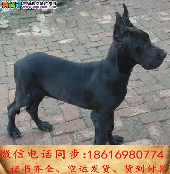 出售纯种 大丹犬幼犬全国发货签订协议