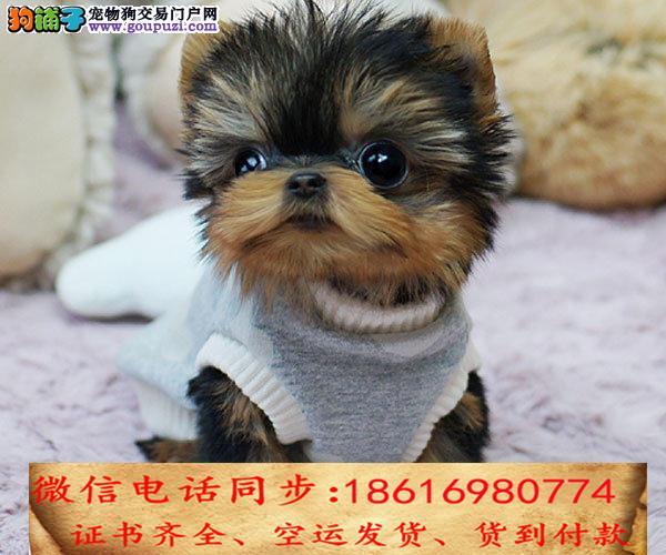 出售纯种约克夏 犬幼犬全国发货签订协议