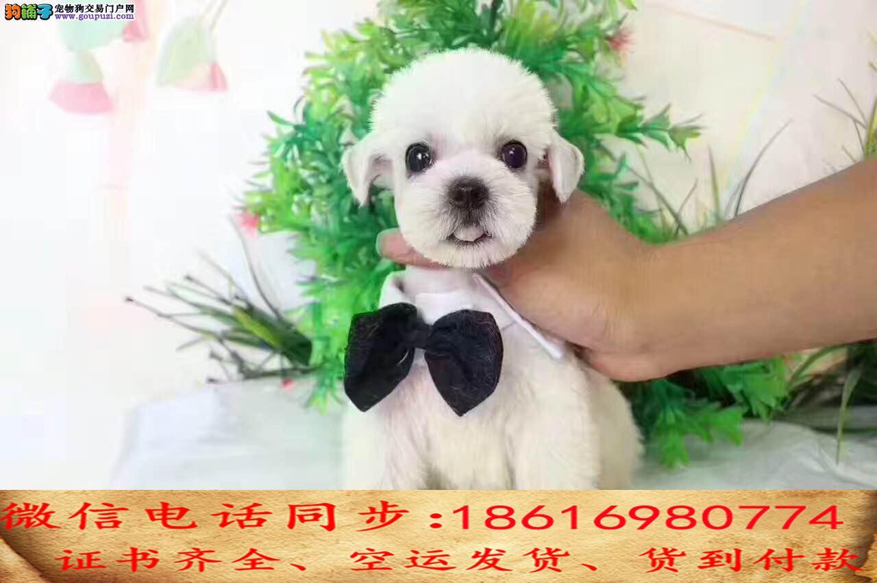 纯种雪纳瑞犬出售保证纯种健康终身质