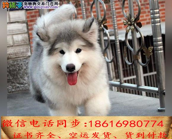出售纯种阿拉斯加犬幼犬全国发货签订协议