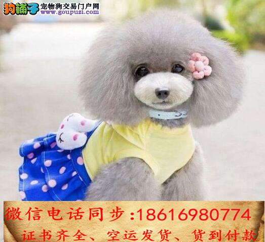出售纯种贵宾 犬幼犬全国发货签订协议3
