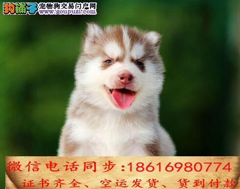 出售纯种哈士奇 犬幼犬全国发货签订协议
