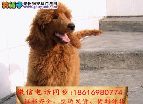 出售纯种贵宾 犬幼犬全国发货签订协议2