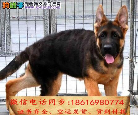 出售纯种德牧犬幼犬全国发货签订协议