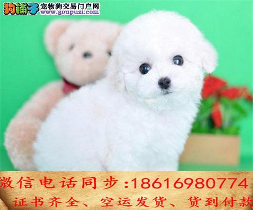 出售纯种比熊犬幼犬全国发货签订协议1
