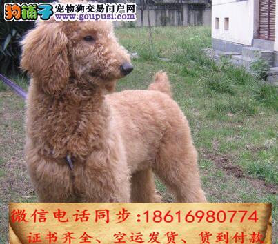 出售纯种贵宾 犬幼犬全国发货签订协议1
