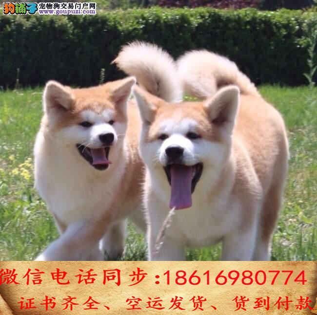 纯种犬繁殖基地出售秋田 疫苗做齐签订售后协议