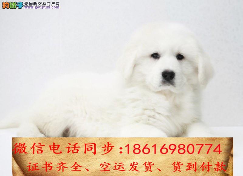 顶级精品大白熊宝宝 纯种健康 购买有保障售后签协议2