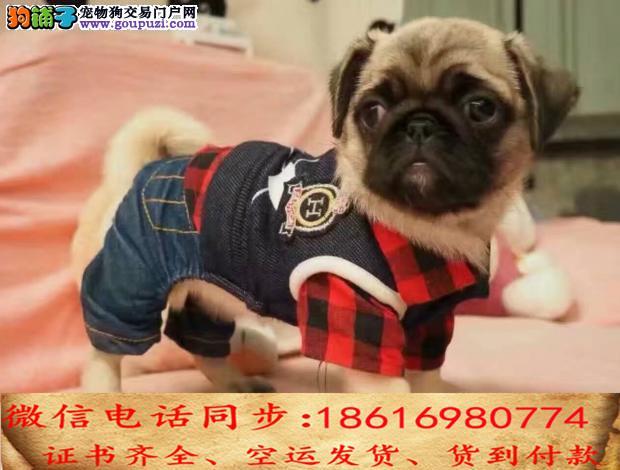 自家繁殖巴哥犬 可看狗狗免费送货上门对外配狗