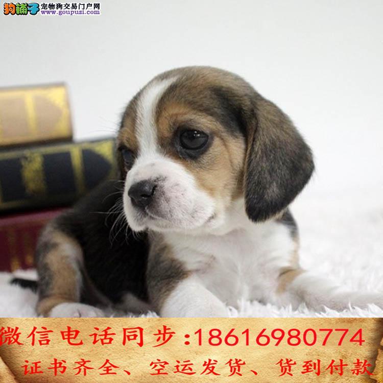 自家繁殖比格犬 可看狗狗免费送货上门对外配狗