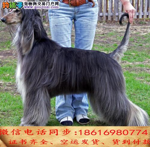 自家繁殖阿富汗猎犬 可看狗狗免费送货上门对外配狗1