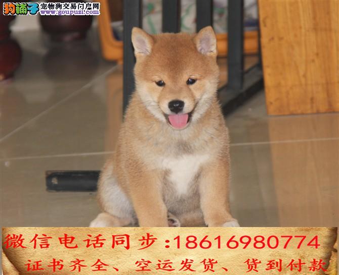 自家繁殖柴犬 可看狗狗免费送货上门对外配狗