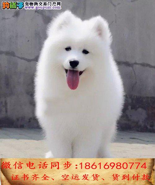 自家繁殖萨摩耶24小时可看狗狗免费送货上门对外配狗