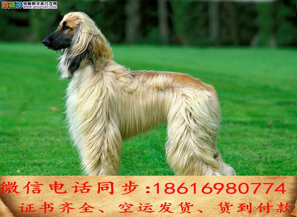自家繁殖阿富汗猎犬 可看狗狗免费送货上门对外配狗2