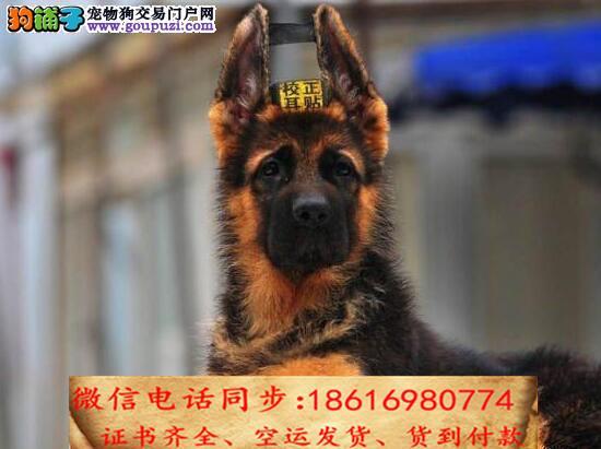 自家繁殖德国牧羊犬 可看狗狗免费送货上门对外配狗