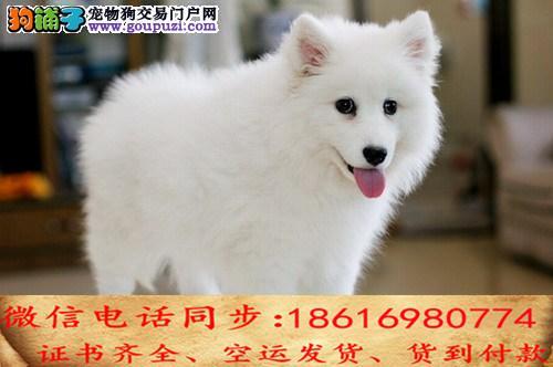 自家繁殖银狐犬 可看狗狗免费送货上门对外配狗