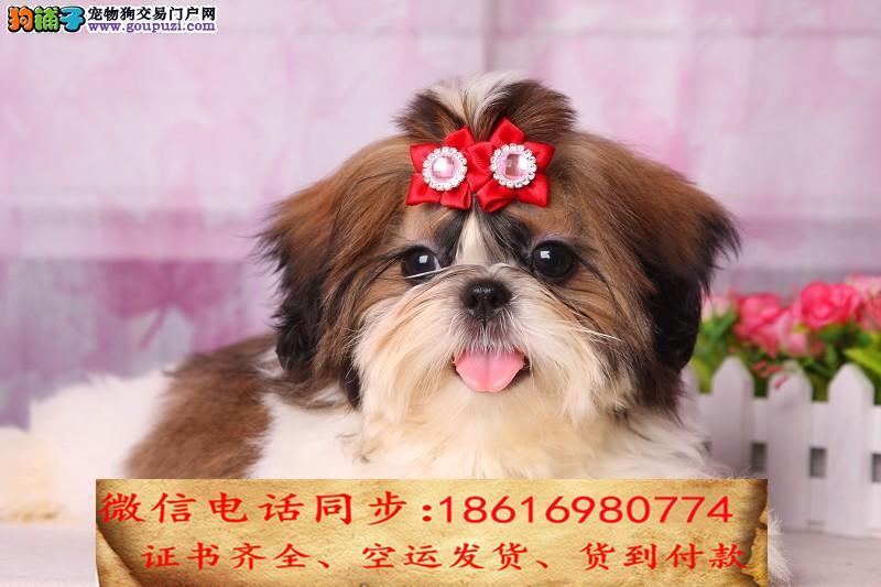 本地最大狗场直销蝴蝶犬 包健康可送货一签活体协议