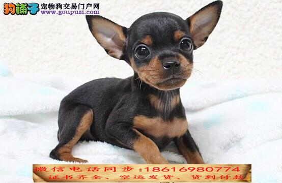 买纯种小鹿犬幼犬视频看狗 送狗上门 可签协议2