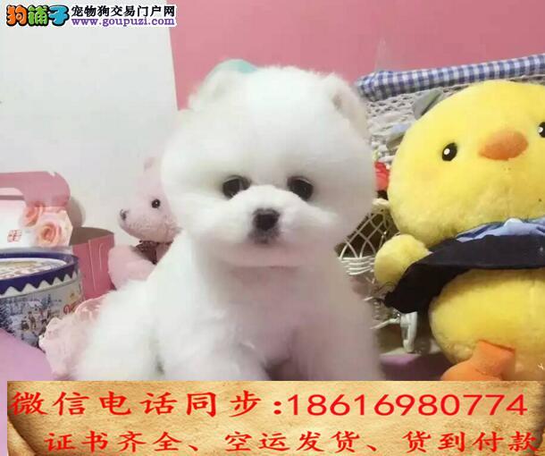 买纯种博美幼犬 视频看狗 送狗上门 可签协议