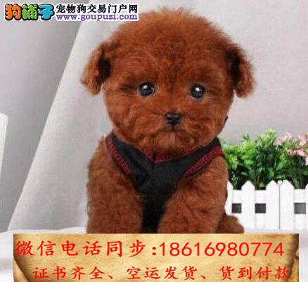 买纯种泰迪幼犬 视频看狗 送狗上门 可签协议
