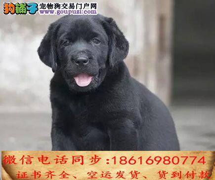 买纯种拉布拉多幼犬 视频看狗 送狗上门 可签协议