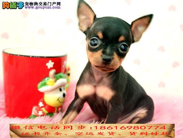 买纯种小鹿犬幼犬视频看狗 送狗上门 可签协议3