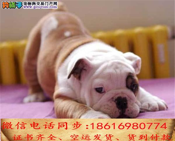 买纯种英国斗牛犬幼犬 视频看狗 送狗上门 可签协议