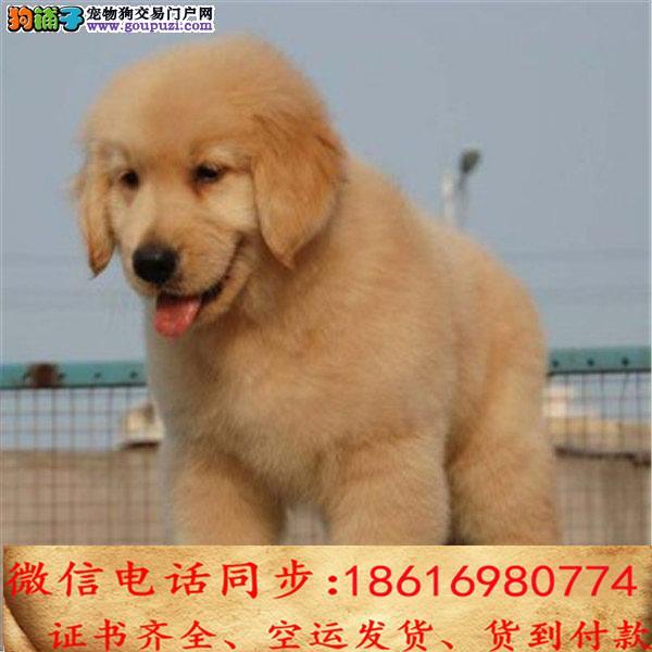 买纯种金毛幼犬 视频看狗 送狗上门 可签协议