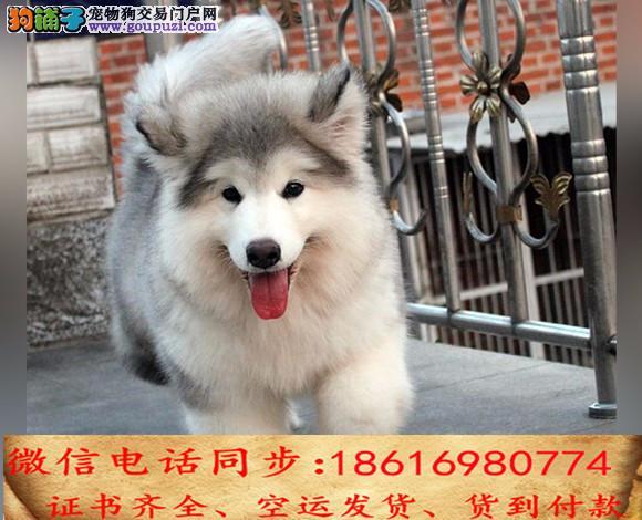 买纯种阿拉斯加幼犬 视频看狗 送狗上门 可签协议