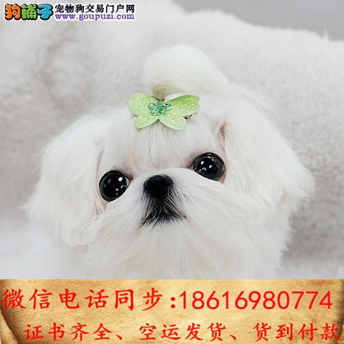 买纯种马尔济斯幼犬 视频看狗 送狗上门 可签协议