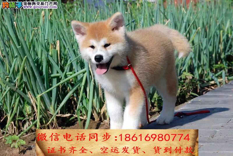 买纯种秋田幼犬 视频看狗 送狗上门 可签协议