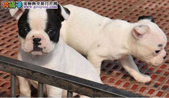 精品纯种短体法国斗牛犬 可送货上门 签协议保售后