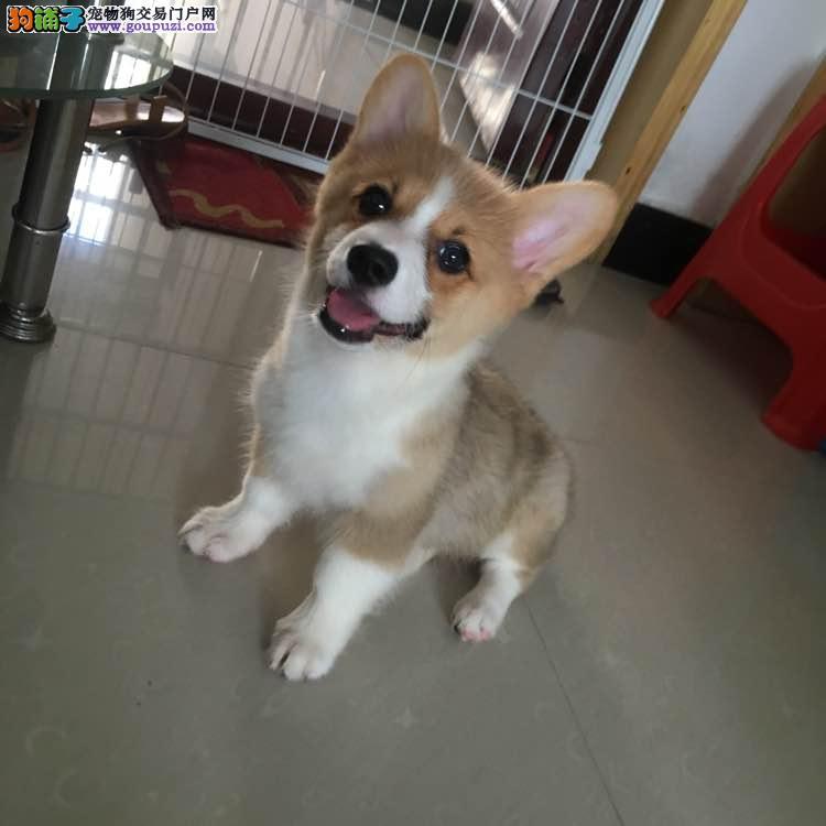 1200精品纯种柯基幼犬宝宝出售
