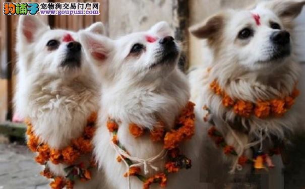 生活在哪里的狗狗最幸福 答案一定有尼泊尔