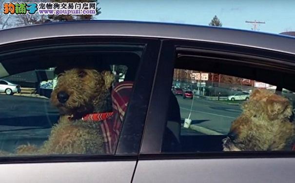主人久出不归 狗狗溜到驾驶座 干的事让人笑到肚子痛