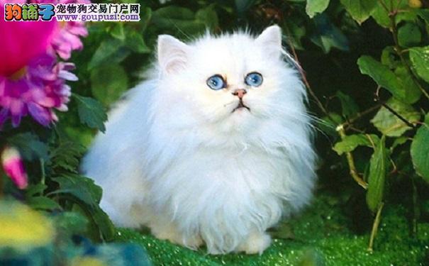 可爱的波斯猫 爱舔身子自我清洁