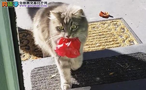 猫咪屋外喵喵叫 主人打开门 没想到它竟送来漂亮礼物