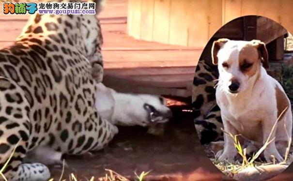 美洲豹扑倒狗狗 张大嘴咬下去 瞬间一奇事发生了