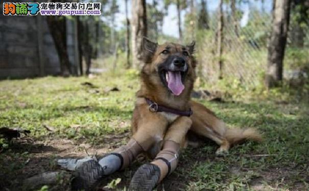 """重获新生!狗狗被人打残 装义肢变""""刀锋跑者"""""""