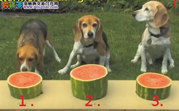 三只米格鲁比赛吃西瓜 获胜狗狗居然……太搞笑