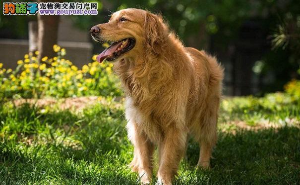 初养金毛幼犬的注意事项以及相处方法