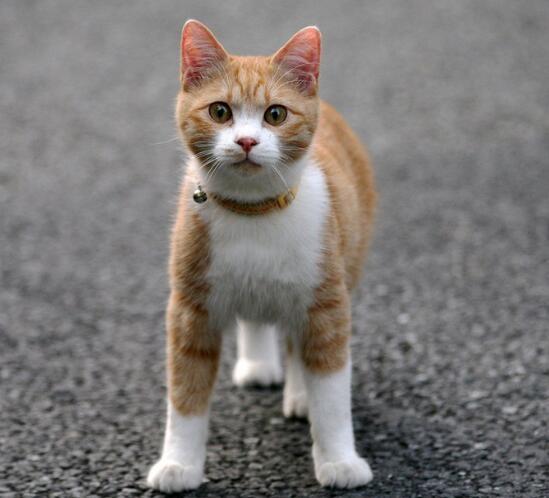 专业CFA猫舍出售中华田园猫 包健康包纯种