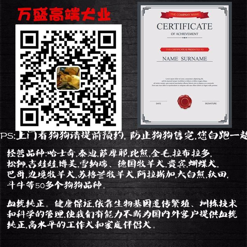杭州可爱泰迪熊出售 可视频挑选小泰迪茶杯犬