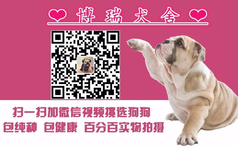 曲靖棕色黑色白色泰迪犬出售父母都是茶杯犬可看可挑选