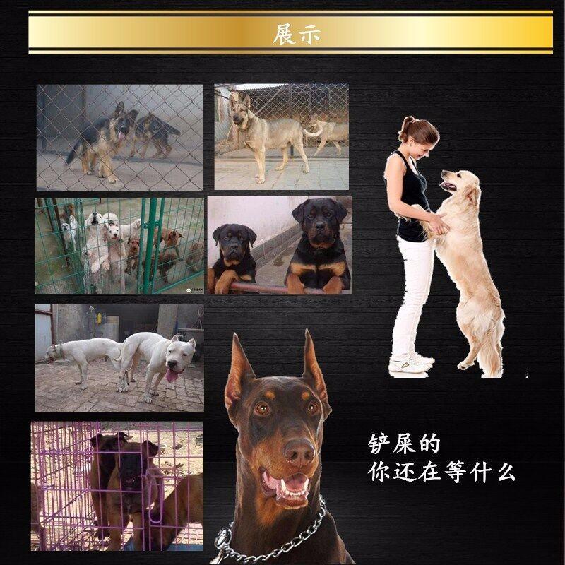 出售高品质 高质量阿富汗猎犬 保证纯种