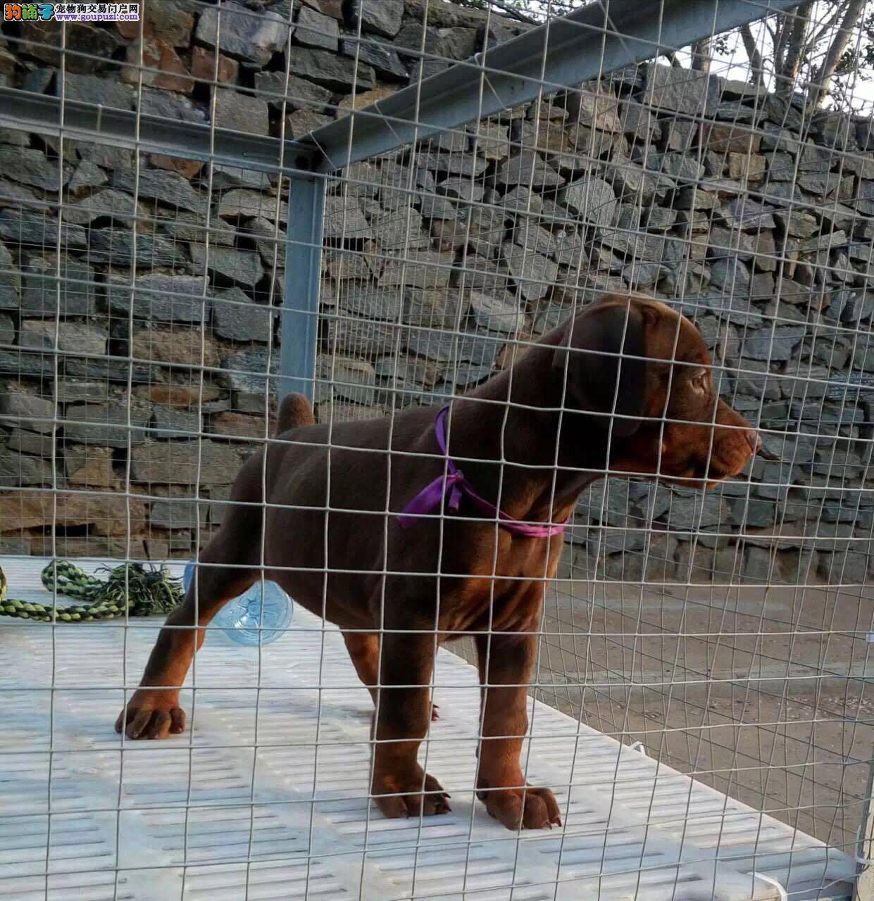 德系纯种杜宾犬 颜色全专业犬舍繁殖幼犬带证书4