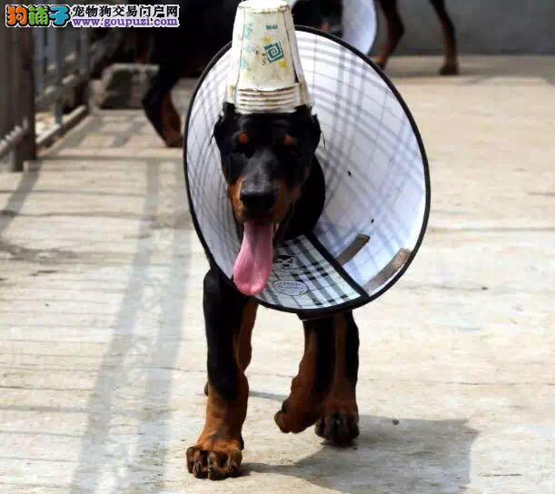 德系纯种杜宾犬 颜色全专业犬舍繁殖幼犬带证书2