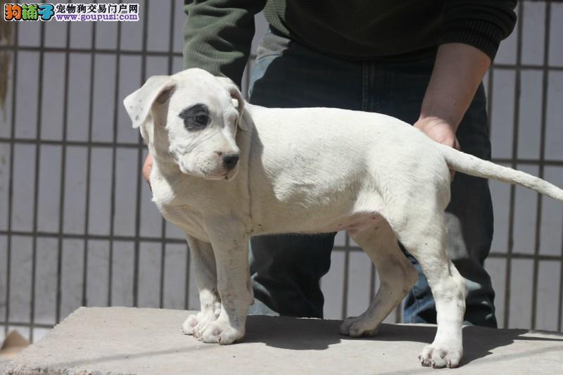 斗犬猛犬 杜高犬 性格开朗 犬舍长期专业繁殖幼犬4
