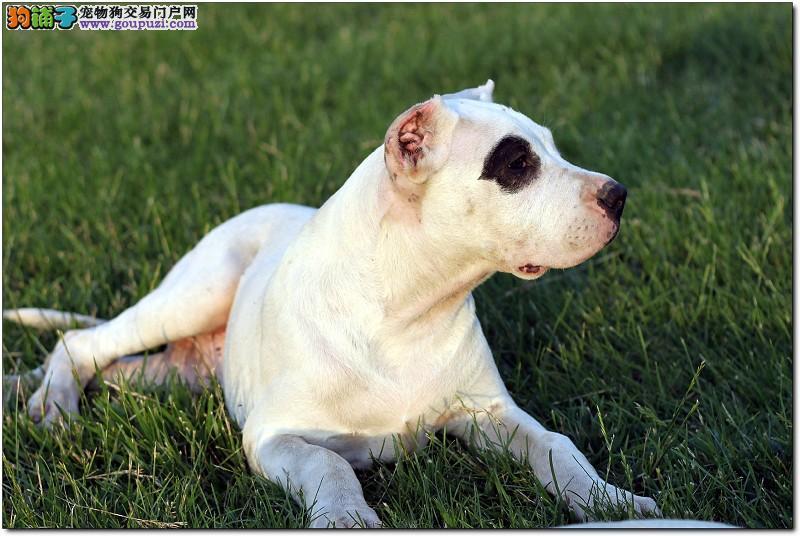 斗犬猛犬 杜高犬 性格开朗 犬舍长期专业繁殖幼犬2